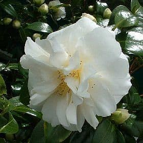 Camellia 'Edelweiss'